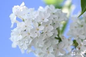 цветы сирени белой