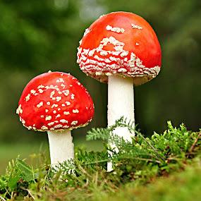 by Eugenija Seinauskiene - Nature Up Close Mushrooms & Fungi ( Mushroom, , red, green )