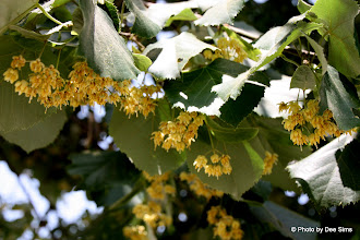 Photo: Day 76 - The Linden Tree (Smells Wonderful!)