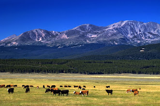 Photo: Cattle graze as the high peaks of the Colorado Rockies show in the background, photographed in the Arkansas River Valley
