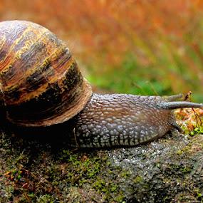 SNAIL  by Karen Tucker - Animals Other ( macro, uk, nature, mollusc, snail, garden snail,  )