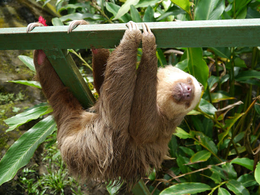 puerto-limon-sloth - A sloth in repose in Puerto Limon, Costa Rica.