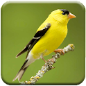 Singing Goldfinch icon