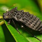 Armoured cockroach