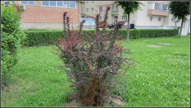 Photo: Dracilă (Berberis.....) - din Parcul Teilor - 2017.05.16
