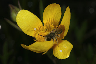 Photo: Ranunculus occidentalis (Nuttall, 1838) - The Western Buttercup with male Mason Bee, DHG