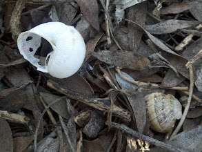 Photo: I saw an interesting coloration of some bushes on the hill during my walk/jog today, but as I climbed up a bit to get a better look, I saw this bleached shell at my feet - and a better shot was found :)