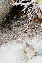 Photo: Bad Arse Squirrel taking on a rattle snake. He doesn't give a ...