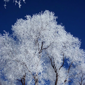 Frosty Tree by Ann Marie - Nature Up Close Trees & Bushes ( winter, tree, celebrating the incredible beauty of trees, frost, Tree, Nature, Sky, , snow, white, quality, detail, landscapes )
