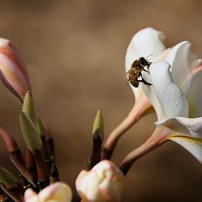 by Aaron Gould - Flowers Flowers in the Wild ( plumeria, bee, flower,  )