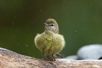 Photo: Orange-crowned Warbler
