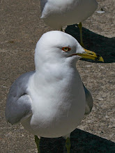 Photo: Last one for #BirdPoker, curated by +Phil Armishaw  City gulls get real close, shot at 85mm equivalent, cropped a little bit. I hand fed them, but didn't get a good shot :( All I got were sore fingers.