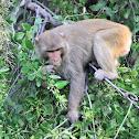 Macaques  -  Rhesus Macaque