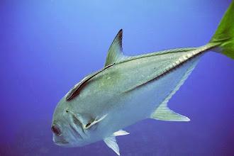 Photo: #024-Columbus Isle. Une Carange dans les eaux des Bahamas