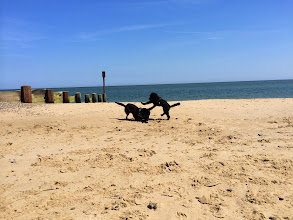 Photo: Rupert Lab and Monty Cockerpoo playing on Eccles beach