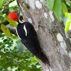 Lineated Woodpecker