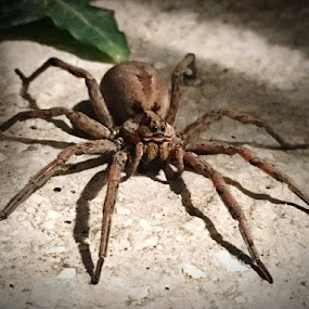 Pajek - Spider by Oliver Bucek - Animals Insects & Spiders (  )