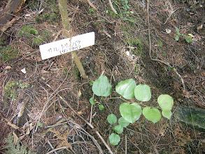 Photo: 「サルトリイバラ」 茎にトゲがあり猿もひっかかる。 当地では水無月の餅をつつむ葉としてなじみ深い。漢字では、猿捕茨と書く。ガンタテバとも呼ばれる。
