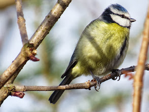 Photo: 22 Jan 14 Priorslee Lake Not usual for them to sit still long-enough to be photographed: here is a fine Blue Tit. (Ed Wilson)