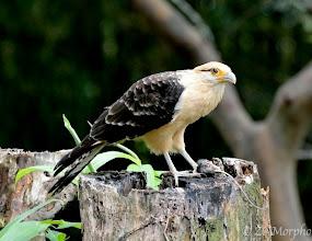 Photo: Yellow-headed Caracara @ Bosque del Cabo Lodge, Osa Peninsula