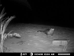 Photo: River Otter - Elizabeth Islands