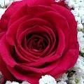Rose Wallpaper, Floral, Flower background : Rosefy APK