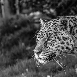 Jaguar by Garry Chisholm - Black & White Animals ( mammal, nature, big cat, jaguar, garry chisholm )