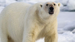 Polar Bears, Dogs & Mantis Shrimp thumbnail