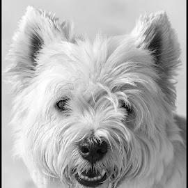 Westie by Dave Lipchen - Black & White Animals ( westie )