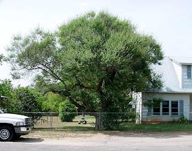 Photo: Here's the same tree a few years ago in full leaf.