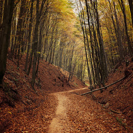 Autumn Walk LXXV. by Zsolt Zsigmond - Landscapes Forests ( path, forest, fall, nature, woods, autumn, trees )