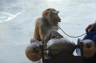Photo: Monkeys are taught to aid the local farmers...