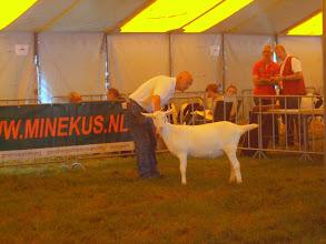Photo: Rubriek 6: witte lammeren geboren tussen 10-2 en 11-3-2012. 1a. Marijke 200.