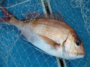 Photo: いいサイズの真鯛からスタートです!