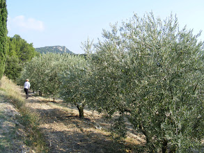 "Photo: Along the way, we stop at an olive grove, where Madame ""borrows"" a single green olive from a tree. Now we know why they are cured, as this fresh one is hard and bitter."
