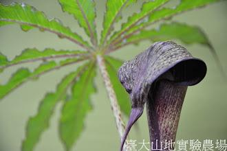 Photo: 拍攝地點: 梅峰-苔藓室 拍攝植物: 天南星 拍攝日期:2012_04_01_Yah