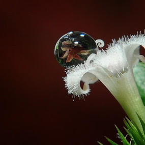 Reflection by Danang Sujati - Nature Up Close Flowers - 2011-2013