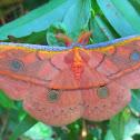 Copaxa Moth