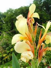Photo: Butter colored flower in a garden after the rain at Wegerzyn Gardens in Dayton, Ohio.