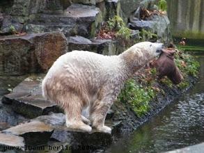Photo: Knut hat einen Jutesack entdeckt ;-)