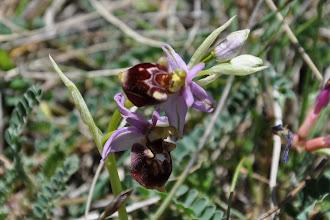 Photo: orchis bourdon