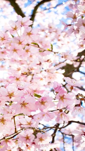マジックタッチ:日本の桜