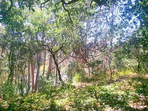 Photo: Eucalyptus bark caught in the oak branchs.