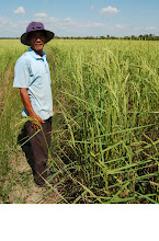 Photo: Cambodian SRI farmer in CODEGAZ/CEDAC project. 2012. [photo courtesy of Alain Oscar]