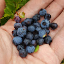Lowbush Blueberry (Wild Blueberry)