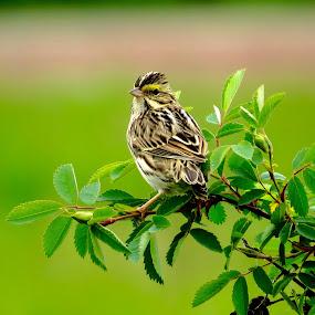 Savannah Sparrow by Nick Swan - Animals Birds ( bird, savannah sparrow, nature, wildlife, bc,  )
