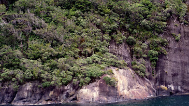 Photo: Trees in Milford Sound grow on the face of the rock where their roots tangle with other trees.  The problem is, if one falls, then others go with it!