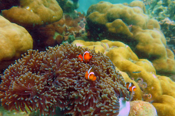 Spot Sea Anemone fish at the reef