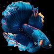 Betta Fish Live Wallpaper Mod Apk