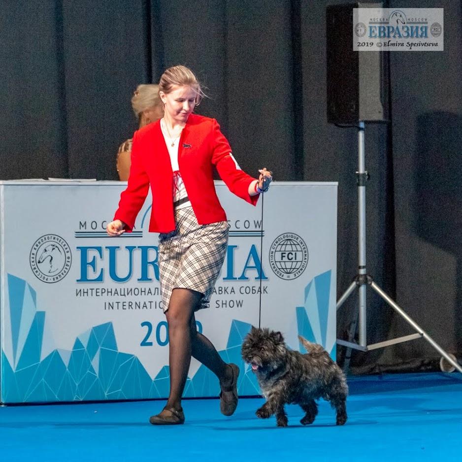 Фото керн терьера Потуса питомника Еливс с хендлером на главном ринге выставки Евразия